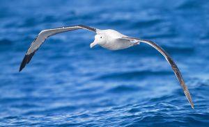 Albatros - Diomedea_exulans_in_flight_-_SE_Tasmania