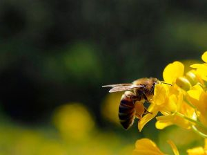 Bee_(15057582948)