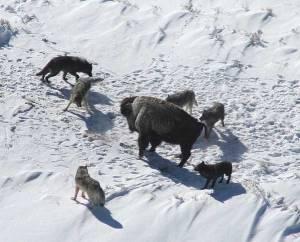 Bison met wolven